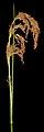 Baumea articulata - Flickr - Kevin Thiele.jpg