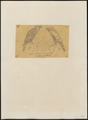 Baza magnirostris - 1863-1876 - Print - Iconographia Zoologica - Special Collections University of Amsterdam - UBA01 IZ18200282.tif