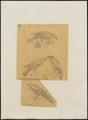 Baza rufa - 1863-1876 - Print - Iconographia Zoologica - Special Collections University of Amsterdam - UBA01 IZ18200280.tif