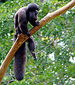 Bearded saki (Chiropotes sp)-8b.jpg