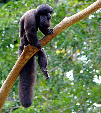 Guayanan Highlands moist forests - The black bearded saki (Chiropotes satanas) is endangered.