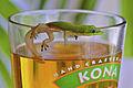 Beer gecko.jpg