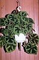 Begonia masoniana 03.jpg