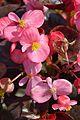 Begonia semperflorens - Alipore - Kolkata 2013-02-10 4788.JPG