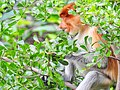 Bekantan on the trees at South Kalimantan.jpg