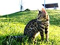 Bengal Cat catcrest1.JPG