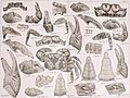Bericht über die von Herrn Schiffscapitän Storm zu Atjeh, an den westlichen Küsten von Malakka, Borneo und Celebes sowie in der Java-See gesammelten Decapoden und Stomatopoden (1895) (14594203089).jpg