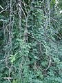 Berkeley Heights NJ vines in woods near path.JPG