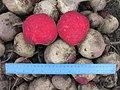 Beta vulgaris var conditiva Буряк столовий сорт Воєвода - розріз коренеплоду.jpg