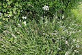 Betts Lane and Common Road junction wild flower verge at Nazeing, Essex, England.JPG