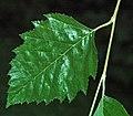 Betula nigra (river birch) (27880297709).jpg