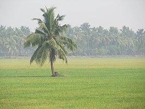 Bhimavaram - A patch of paddy fields near Bhimavaram