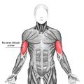 Biceps brachii az.PNG
