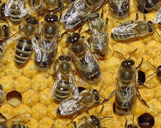 Bienen 35b-Detail