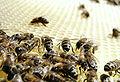 Bienen auf Wabe.JPG