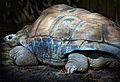 Big turtle1 (8306358456).jpg