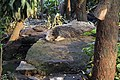 Binturung, Arctictis binturong Bandung Zoo sunset.jpg