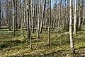 Birch forest Gullmarsskogen 2.jpg