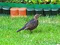 Bird - (PL) Kos (20439673548).jpg