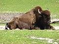 Bison-bison-athabascae-3.jpg
