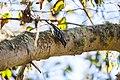 Black-and-white warbler (39207214951).jpg