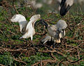 Black-headed Ibis (Threskiornis melanocephalus)- juvenile extracting food from adult W IMG 2720.jpg