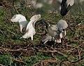 Black-headed Ibis (Threskiornis melanocephalus)- juvenile extracting food from adult W IMG 2720.jpg