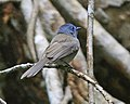 Black-naped Monarch (Hypothymis azurea) - Flickr - Lip Kee.jpg