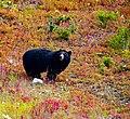 Black Bear -- Lake Louise Upper Gondola Terminal Alberta (CA) September 2019 (50091437407).jpg