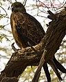 Black Kite (7050720645).jpg