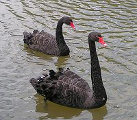 Black Swans.jpg