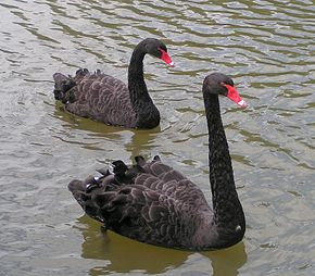 Pair of black swans swimming