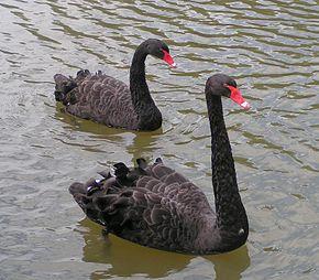 Pair of black swans swimming 0208868ee