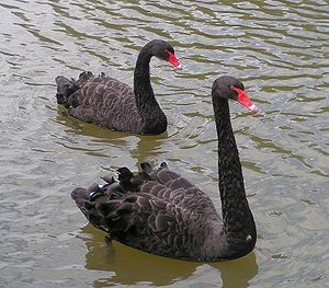 The black swan is the state bird of Western Australia Black Swans.jpg