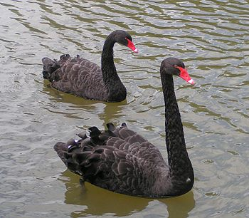 The Black Swan is the state bird of Western Au...