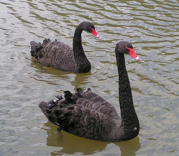 "The observation of a black swan falsifies the hypothesis ""All swans are white"". Black Swans.jpg"