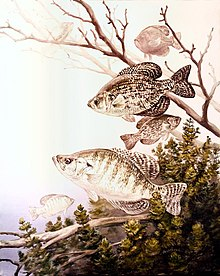 Black crappie and white crappie fish.jpg
