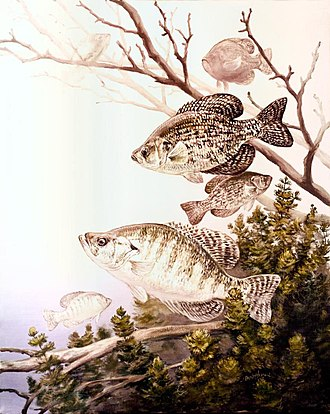 Crappie - Image: Black crappie and white crappie fish