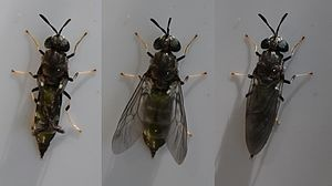 Hermetia illucens - Black soldier fly inflating its wings during the first 15 minutes after emergence from pupation.