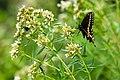 Black swallowtail (26687895984).jpg