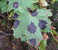 Black tar spot on sugar maple.jpg