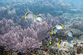 Blackback butterflyfish Chaetodon melannotus (7663523828).jpg