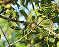 Blackburnian Warbler Setophaga fusca, Paramin, Trinidad 2.jpg
