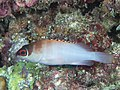 Blacktip grouper (Epinephelus fasciatus) (48279247787).jpg