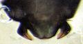 Blaste tillyardi (male hypandrium).jpg