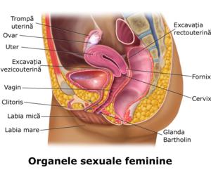 organele genitale masculine și erecția