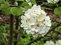 Bloeiwijze van Viburnum plicatum ´Grandiflorum´.jpg