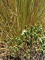 Blooming Hebe (6706306359).jpg