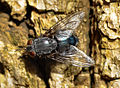 Blue Bottle Fly 2.jpg