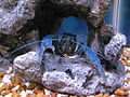 Blue Crayfish in Aquarium 2.JPG